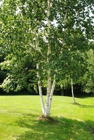 birch-tree-pics-images-free